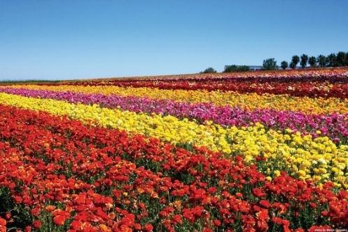 Spring Getaway - Carlsbad, CA Flower Fields