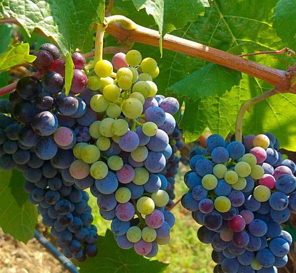 green-purple-grapes