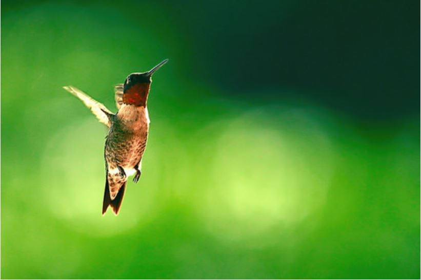 Ruby Red-throated hummingbirds are among the pollinators traveling through North Carolina during the fall in need of pollinating plants to help them survive their journey south. (Evangelio Gonzalez/Flickr)