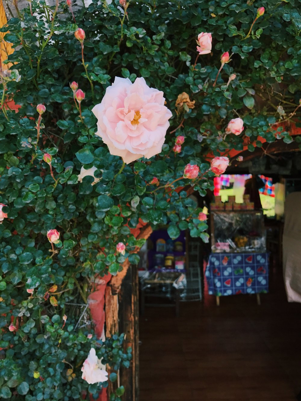 A gorgeous rose bush taking over the entry arch to a house/restaurant.
