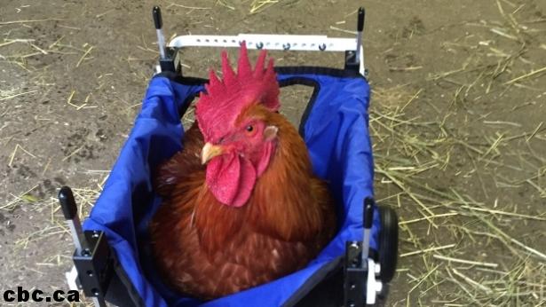 sali-s-farm-louise-rooster.jpg