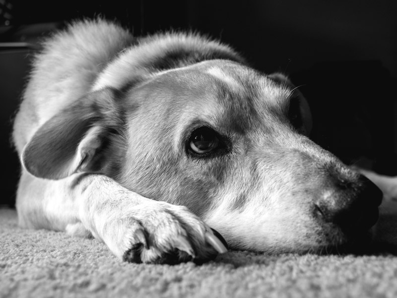 Up close portrait of a dog, Eddie, taken by Orlando Pet Photography in Orlando, FL
