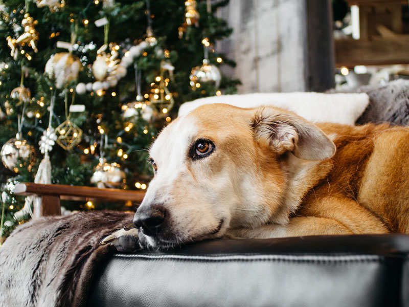 Portrait of a dog, Eddie and Christmas Tree, taken by Orlando Portrait Photography
