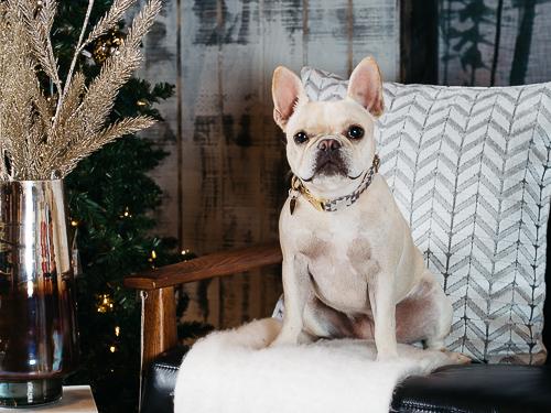 Christmas themed studio portrait taken by Orlando Pet Photography at West Elm Orlando-25.jpg