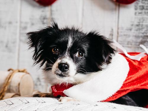 Christmas themed studio portrait taken by Orlando Pet Photography at West Elm Orlando-28.jpg