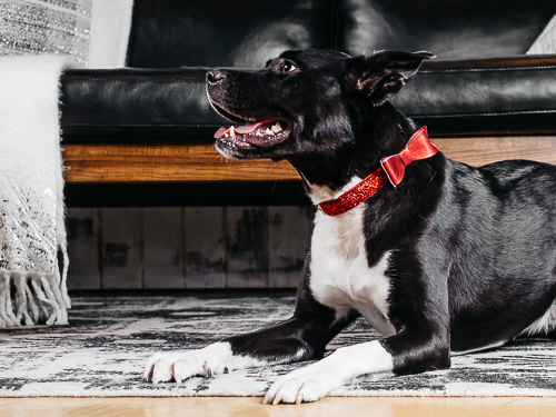 Christmas themed studio portrait taken by Orlando Pet Photography at West Elm Orlando-33.jpg