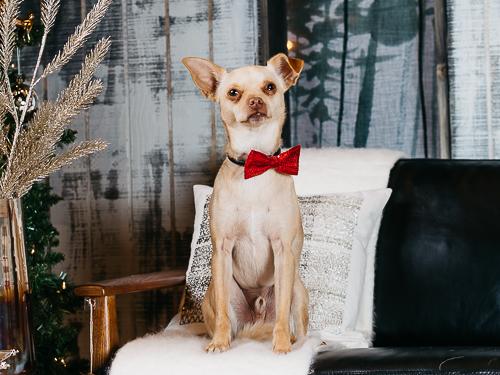 Christmas themed studio portrait taken by Orlando Pet Photography at West Elm Orlando-36.jpg