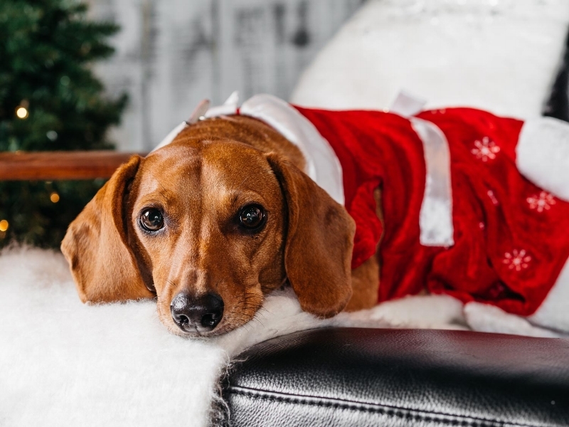 Portrait of a dog in Christmas clothing taken by Orlando Pet Photography