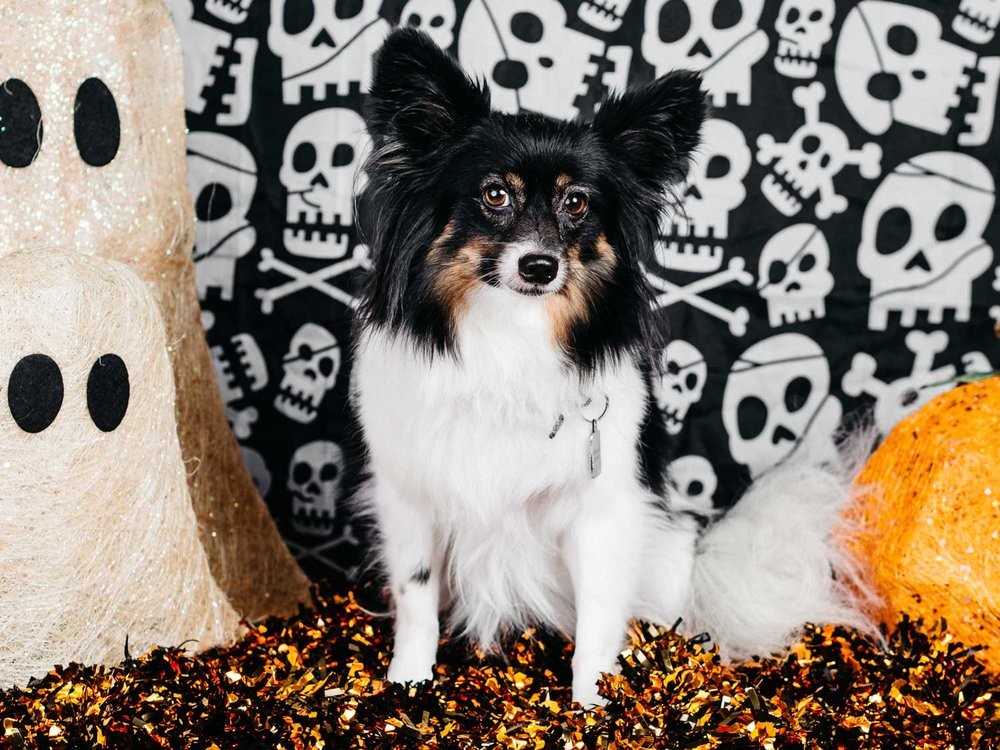 Portrait of a Papillon in Halloween costume taken by Orlando Pet Photography