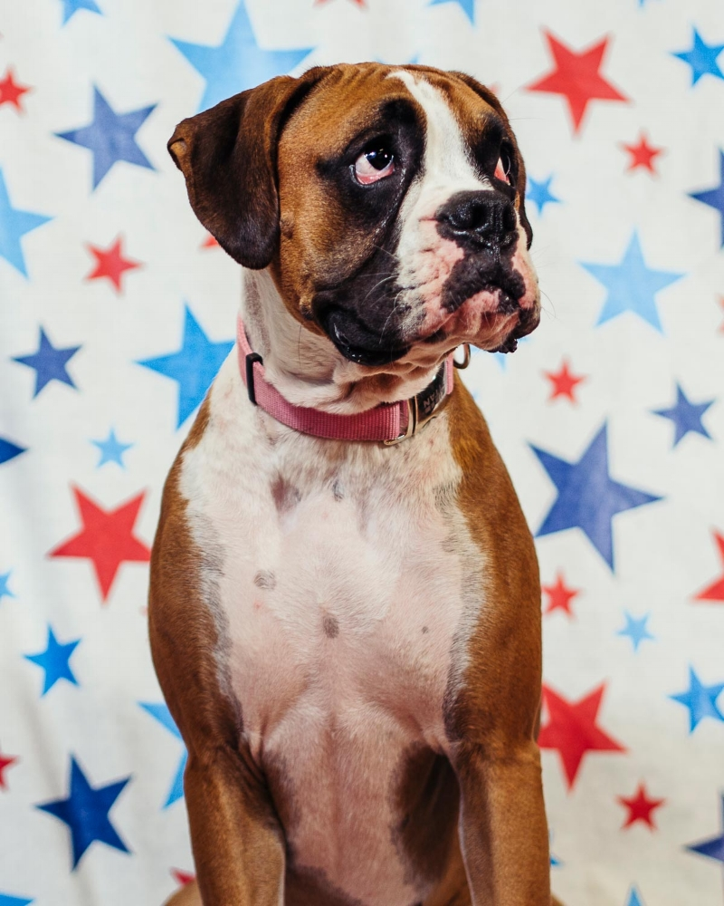 Portrait of a Boxer taken by Orlando Pet Photography