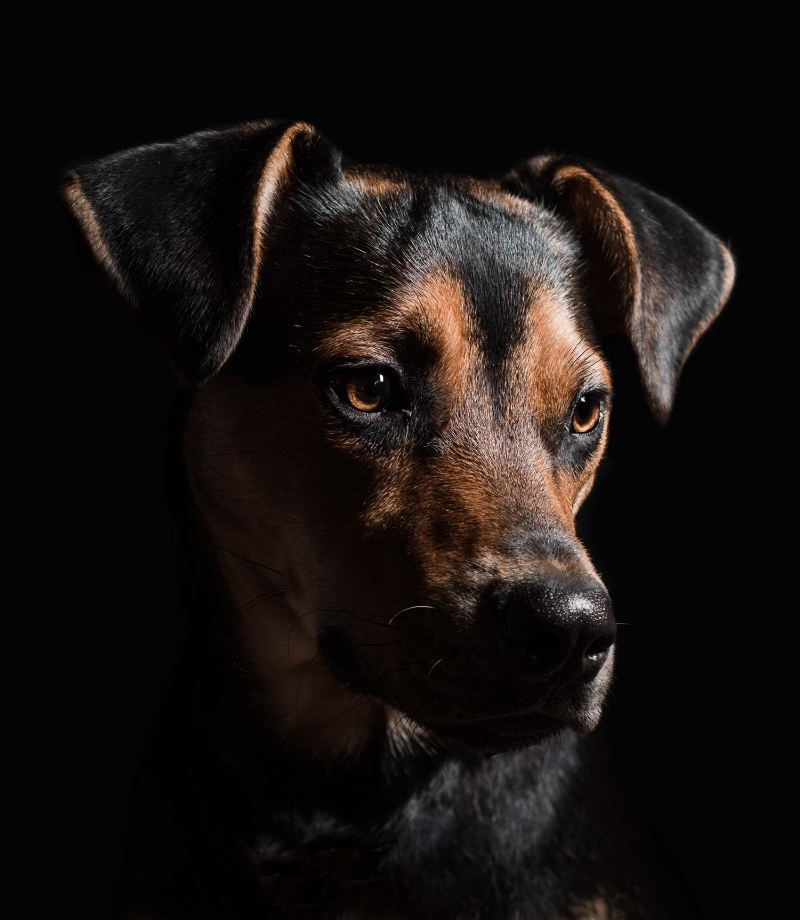 Studio portrait of a puppy named Toby taken by Orlando Pet Photography