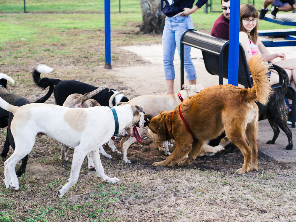 Photo of a group of dogs playing at Barber Dog Park in Orlando FL taken by Orlando Pet Photography.jpg