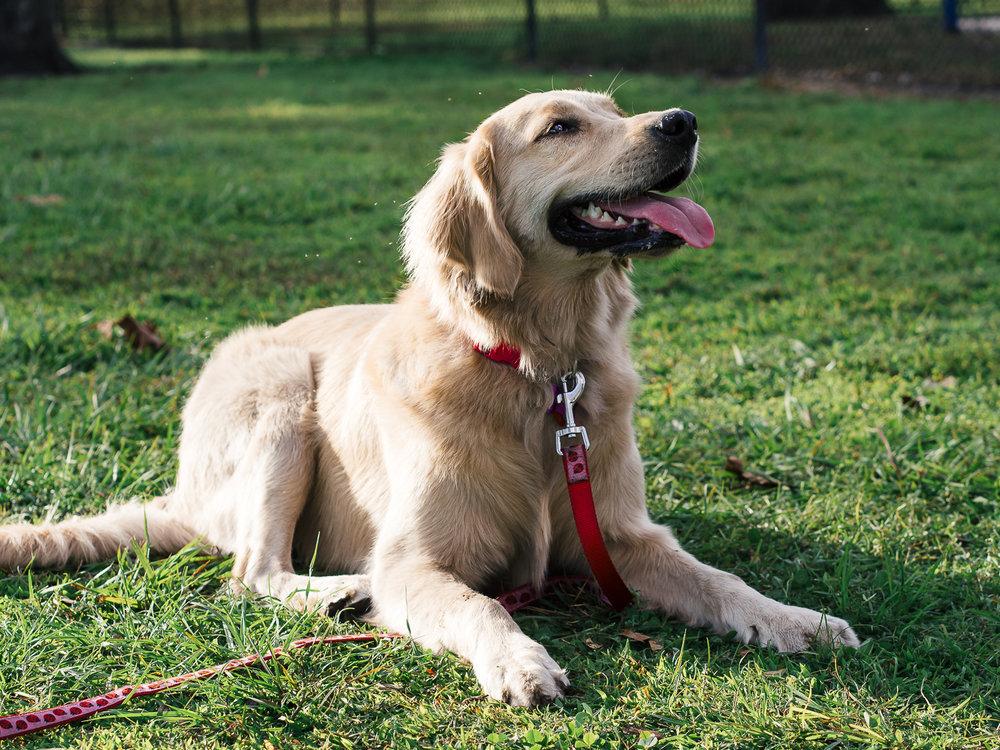 Portait of a golden retriever names Margo taken by Orlando Pet Photography.jpg