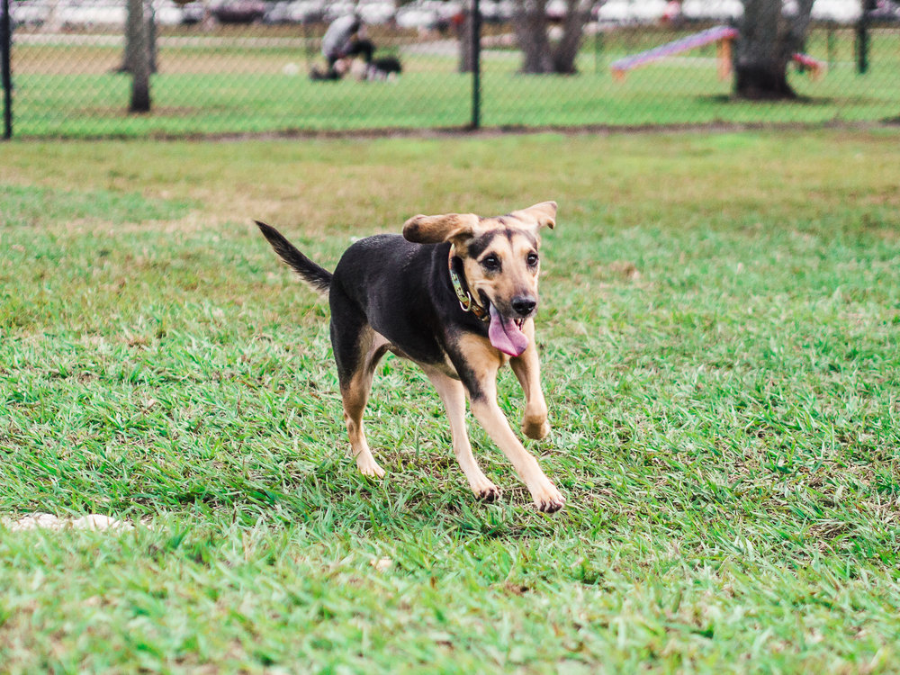 Potrait of a puppy running in the grass taken by Orlando Pet Photography.jpg