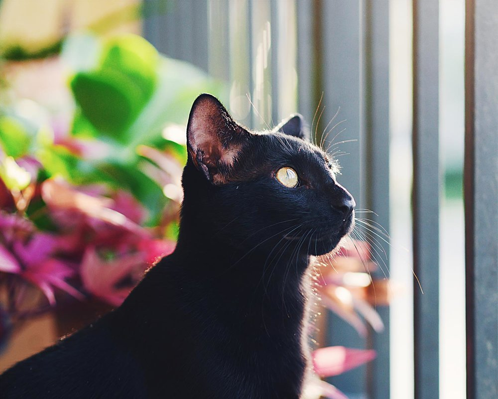 Outdoor-image-of-a-black-cat-named-Luna-taken-by-Orlando-Pet-Photography.jpg