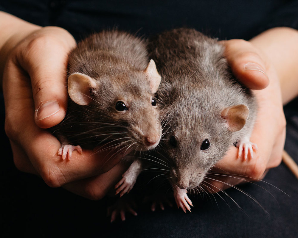 Studio-portrait-of-a-sister-Ratsy-taken-by-Orlando-Pet-Photography.jpg