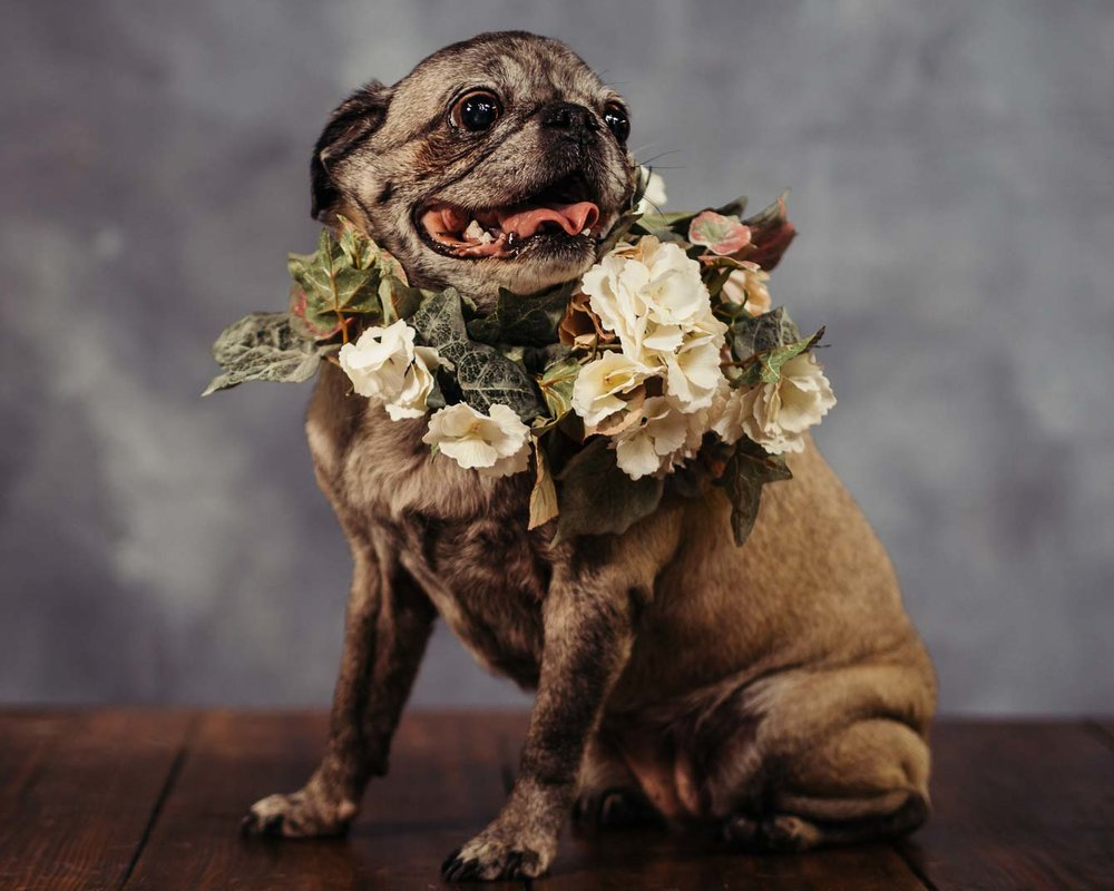 A-photo-of-a-Pug-named-Lola-with-a-flower-bussel-taken-by-Orlando-Pet-Photography.jpg