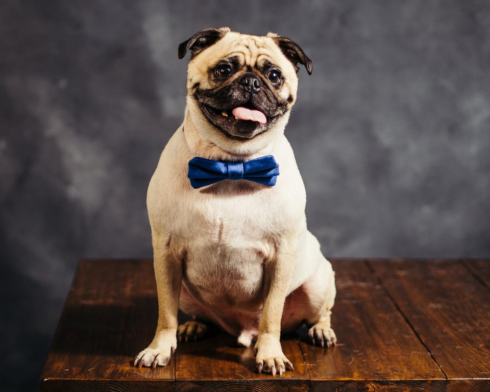 A-photo-of-a-Pug-named-PoBoy-with-a-bow-tie-taken-by-Orlando-Pet-Photography.jpg
