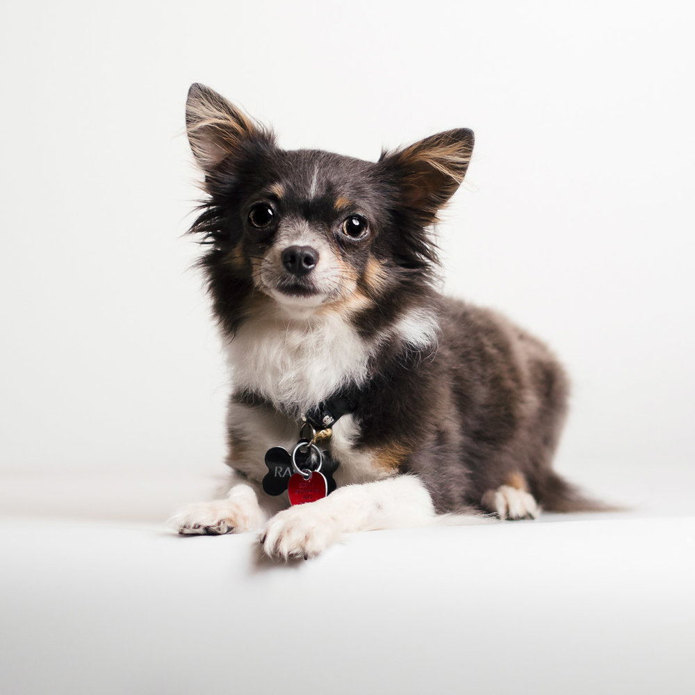 A-studio-image-of-a-chihuahua-mix-taken-by-Orlando-Pet-Photography.jpg