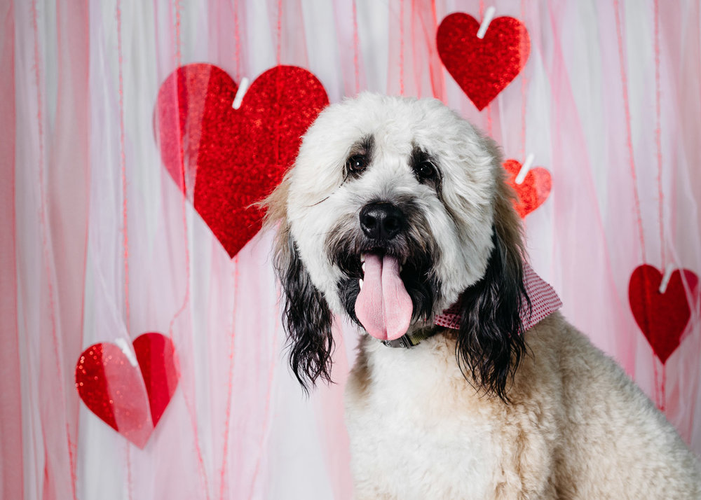 Studio-portrait-of-a-puppy-with-a-valentine's-themed-backdrop-taken-by-Orlando-Pet-Photography.jpg