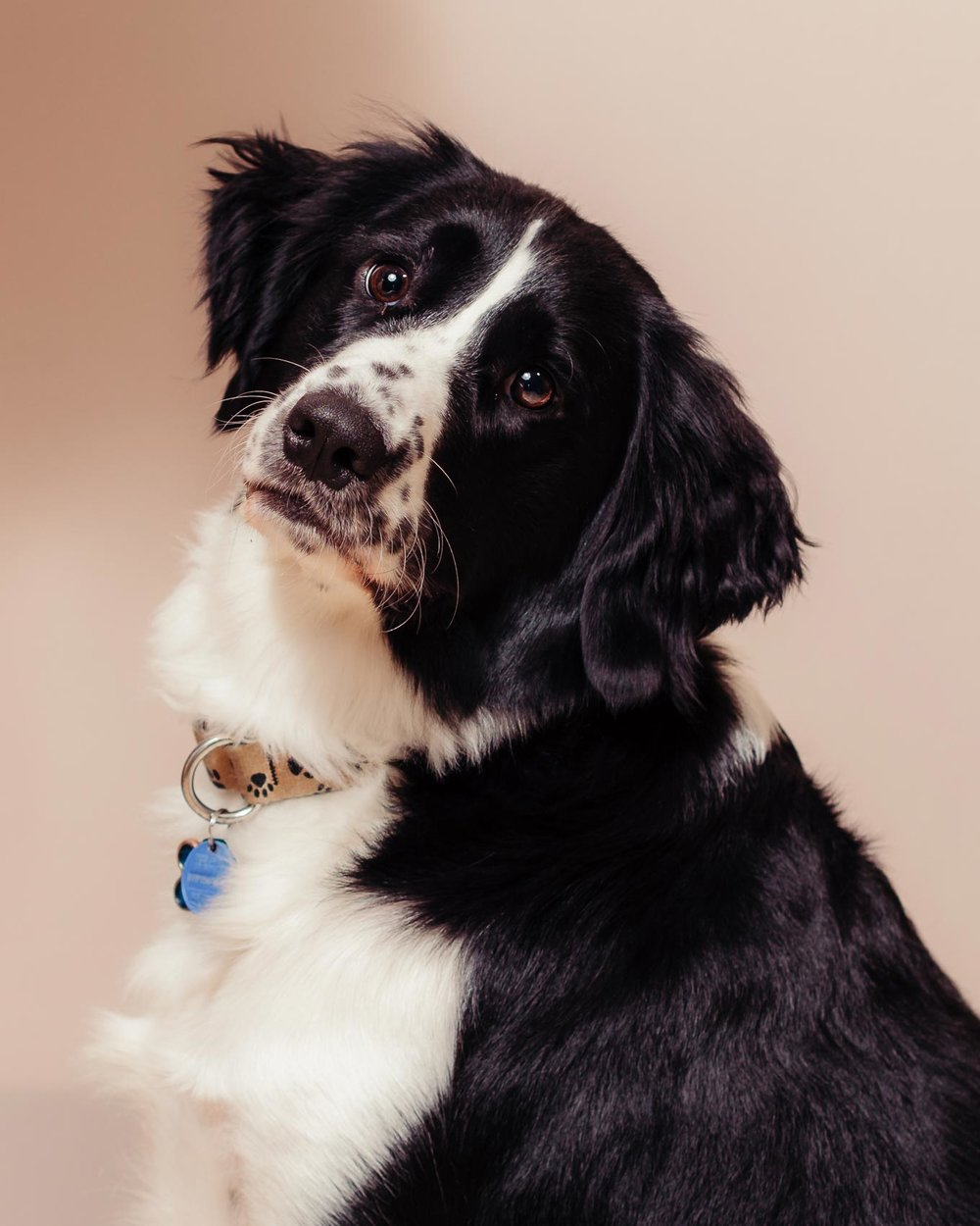 Studio-portrait-of-a-Springer-Spaniel--named-Danny-taken-by-Orlando-Pet-Photography.jpg