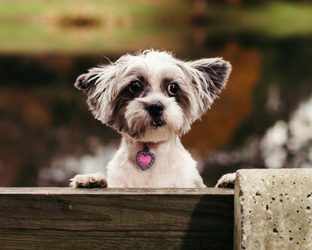 Photo-of-a-small-dog-on-a-bench-in-Orlando-FL,-taken-by-Orlando-Pet-Photography.jpg