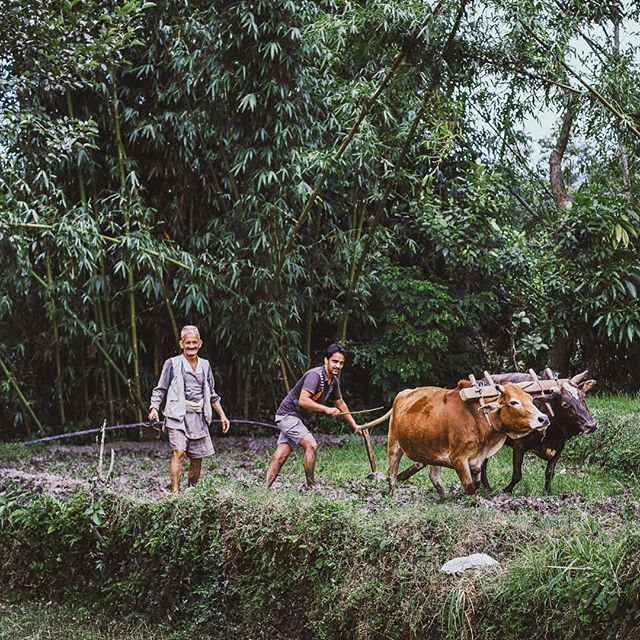 Farming is a hard working life, also in Nepal. The great organic food grows on their fields but their great work is only appreciated by few. #nepal #enjoynepal #travelnepal #foodsofnepal #flavoursofnepal