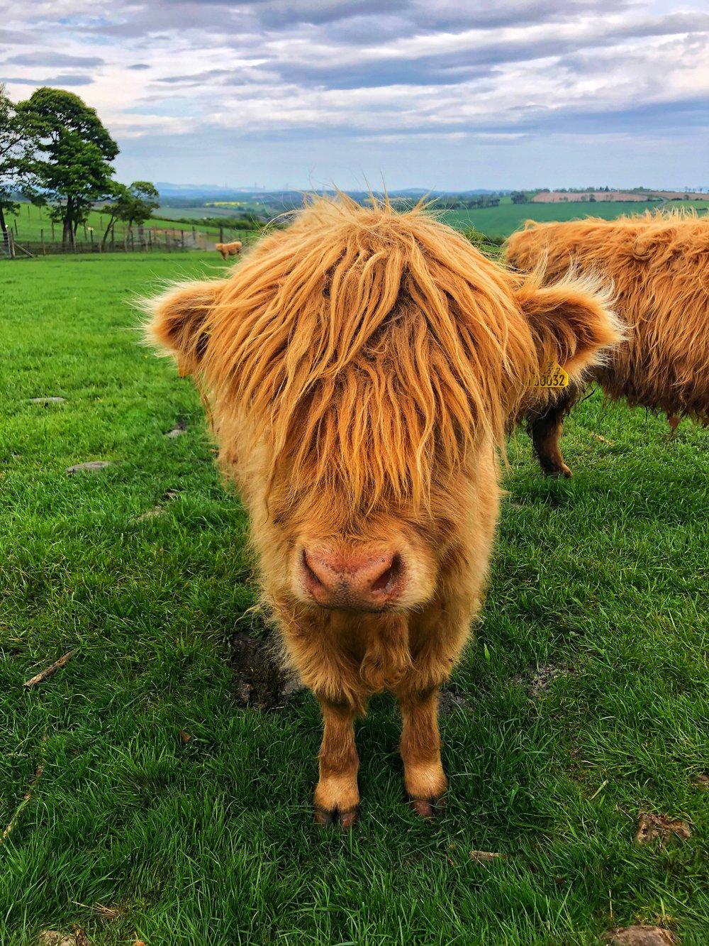 Met a Cow
