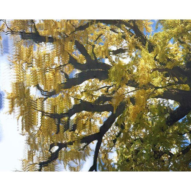 Glitched Ginkgo. Izumiyama - Arita-cho  #aritaautumnceramicfestival #arita #glitch #glitchtrees #matrix #autumn #ginko #nature