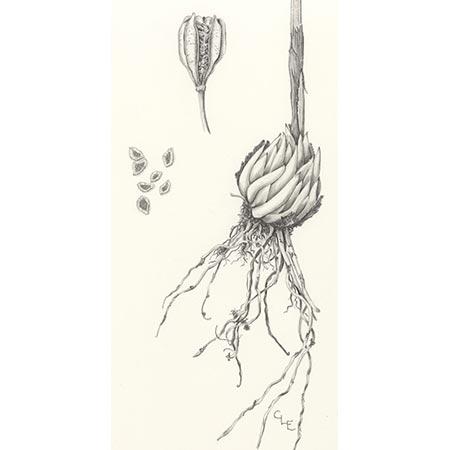 botanicals_lilium_450.jpg