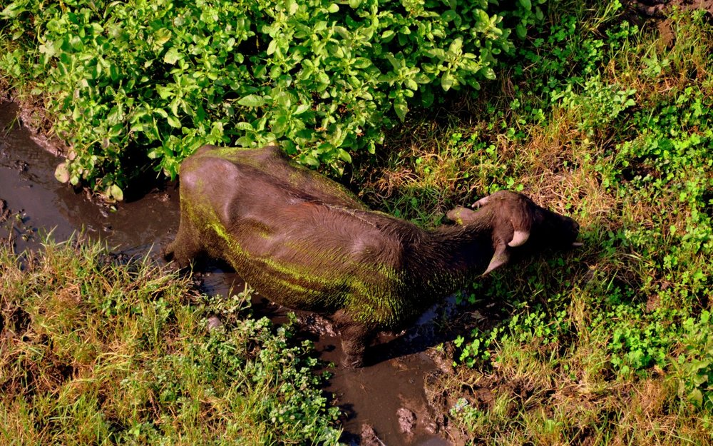 Water buffalo from above in Bodhgaya.JPG