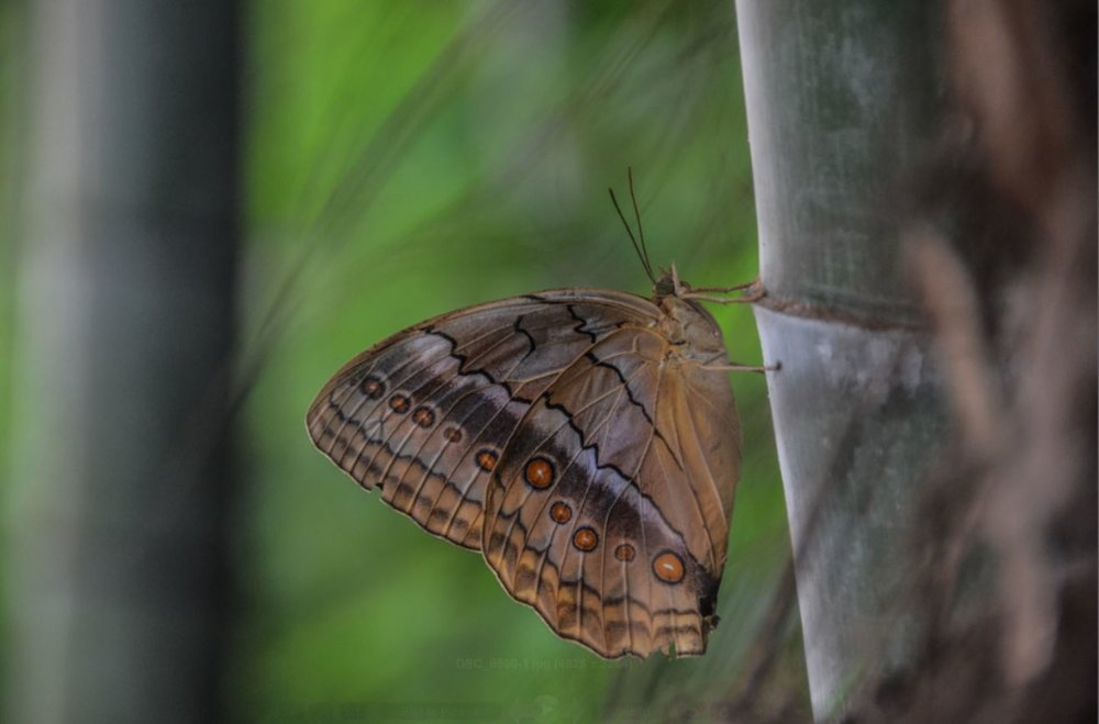 A butterfly on bamboo in the bamboo forest surrounding our temple.