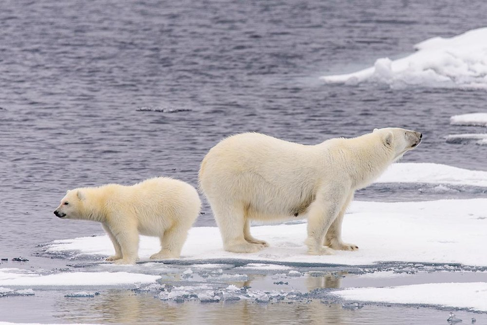 polar-bears_561027613.jpg