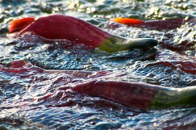 salmon 2.png