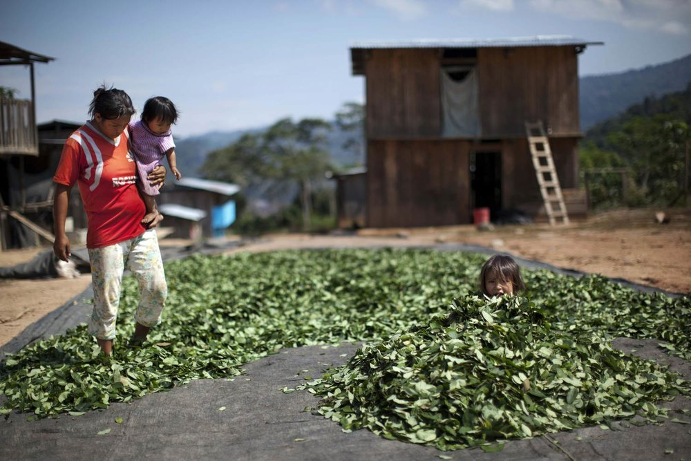 Peru's Coca Production - The United Nations announced in 2013 that Peru has overtaken Colombia as the world's top producer of coca, the raw plant material used to manufacture cocaine.Production found in Peru and Colombia is the work of small, often family-based groups living a subsistence lifestyle from coca paste production. The production and flow of drugs through this Tri-Border Region causes a number of problems for the communities in this region.