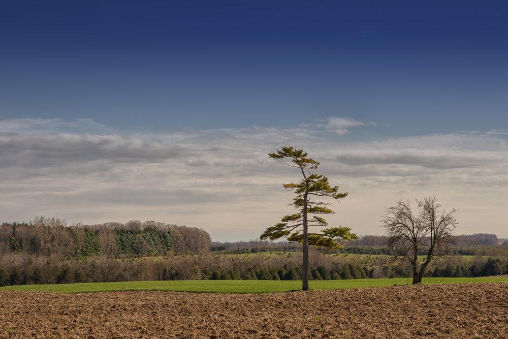 Lone White Pine