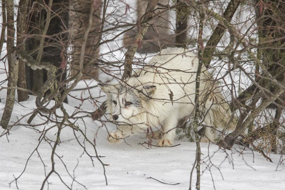 Arctic Fox Creeping