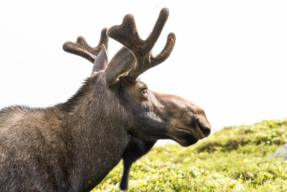 Gros Morne Mountain Moose