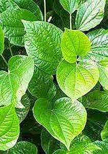 he Kava plant. Photo courtesy buykavadirect.com