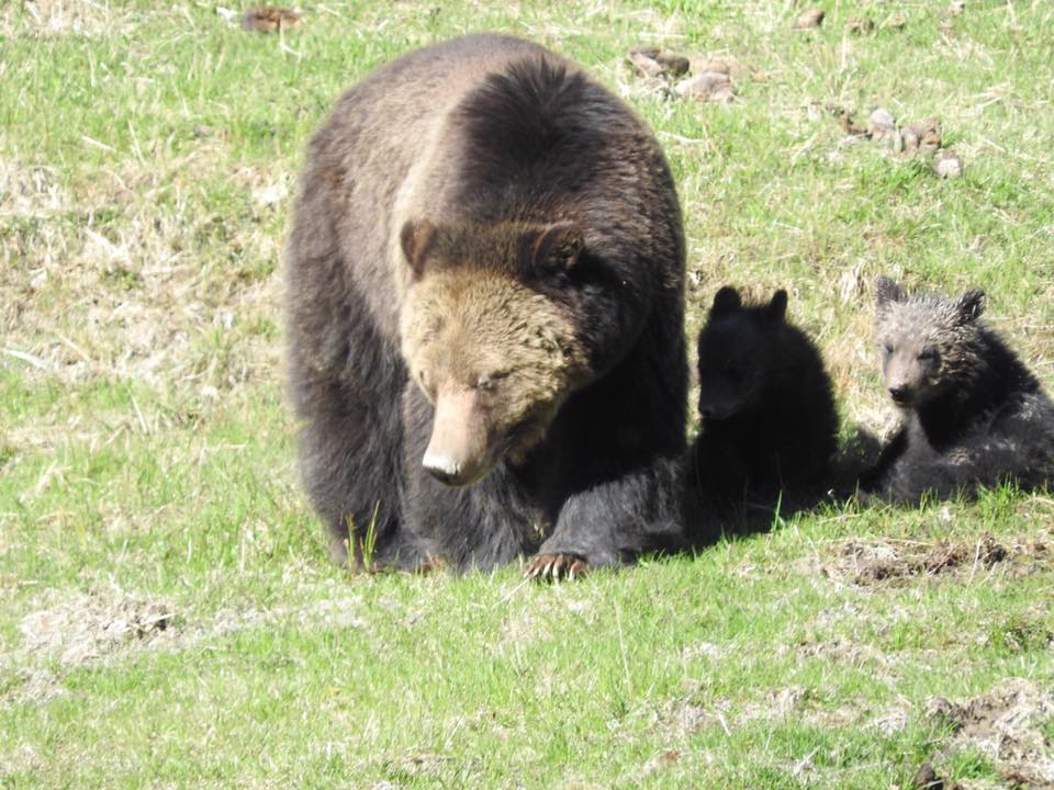 Grizzly Bear Mom and Cubs (born this year)
