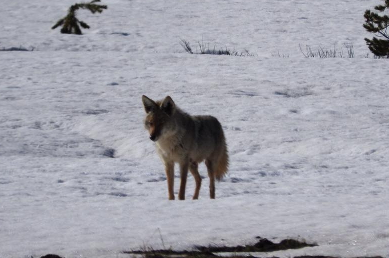 Female Wolf - We watched her hunting voles underneath the snow!