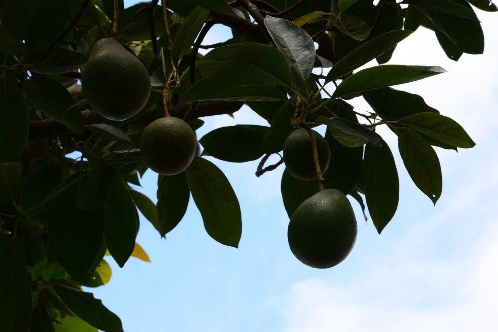 Avocado tree by the Kula Marketplace.