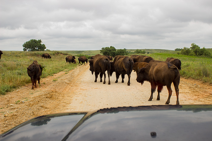 Bison-in-the-Road.jpg