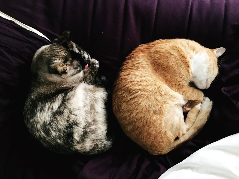 Orange tabby cat blue eyed cat