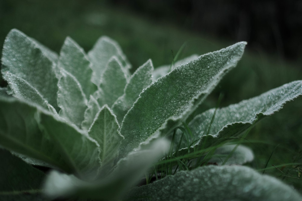 Massive Lambs Ear growing wild in a misty field