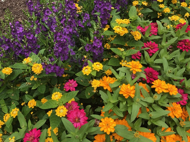Angelonia Zinnia Mix.JPG