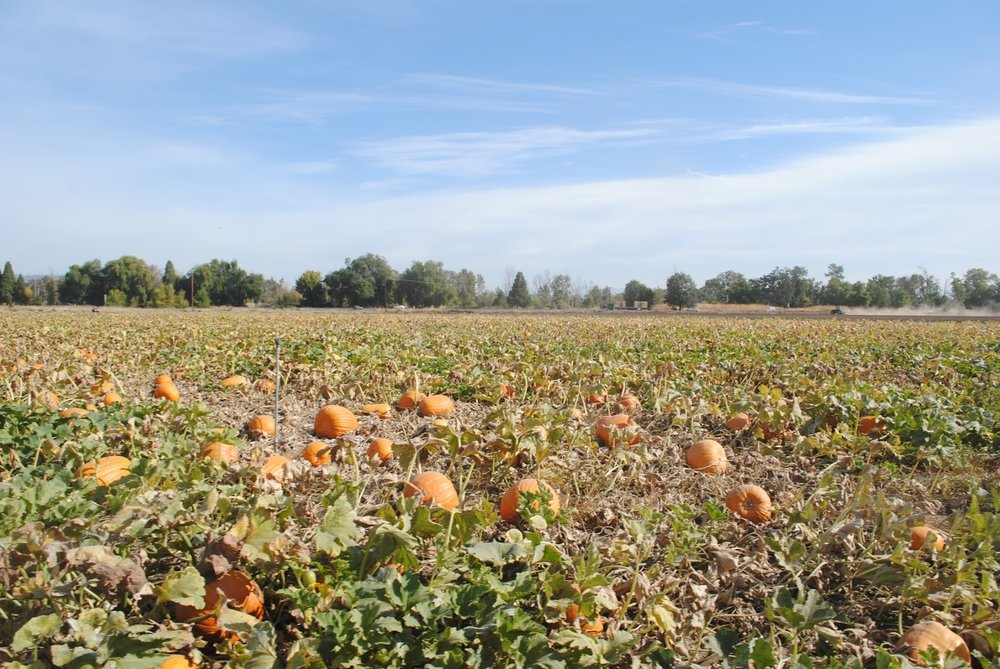 SEVEN OAKS FARM PUMPKIN PATCH - Central Point - What to do in Southern Oregon - Fall - Kids - Activities