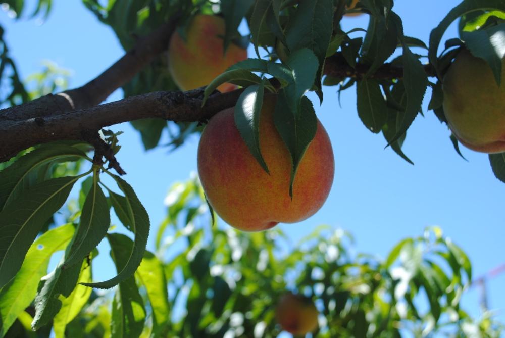 Whites Country Farm - Medford, Oregon - Rogue Valley - Jackson County - Travel Southern Oregon - U-Pick Peaches