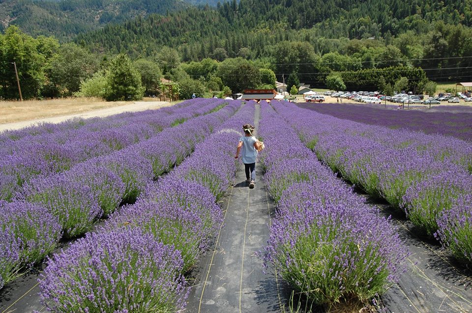 ENGLISH LAVENDER FARM - What to do in Southern Oregon - Applegate Valley