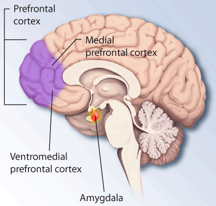 Ptsd-brain-prefrontal-amygdala.png
